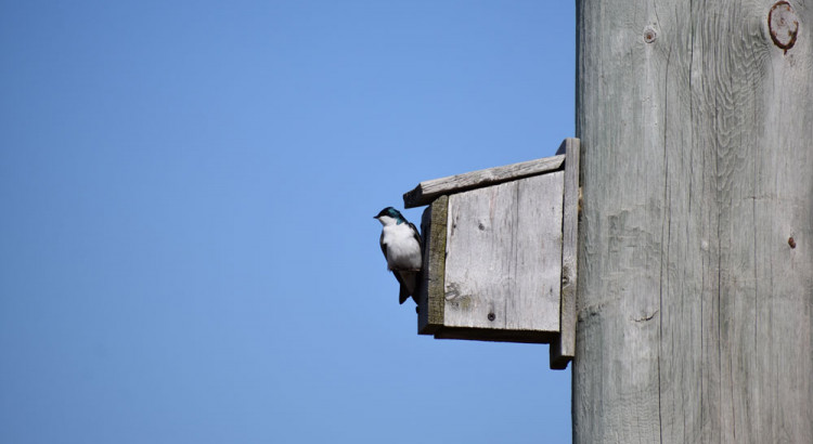Tree Swallow on nesting box. Credit: Brett MacKinnon
